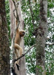 Gibbon Spotting Cambodia 6 1