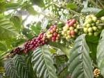Coffe Plantation Bali