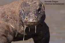 Copy Of Komodo Dragon