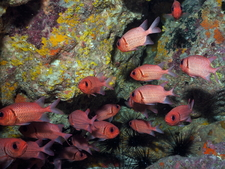 Doubletooth Soldierfish 2