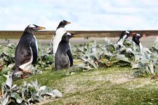 Gentoo Penguins 1 Enhanced