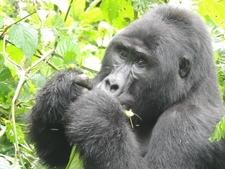Gorilla Punch