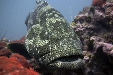 Malabar Grouper2