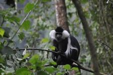 Nyungwe National Park Monkey