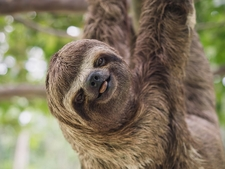 Sloth Iquitos Amazon