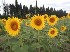 Sunflowers 2014 D