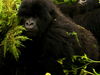 1280px Gorillas Moving