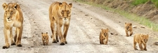 Lions In Large Prides