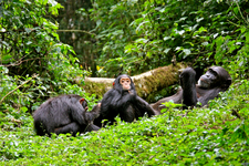 Chimpanzees Julie Rushmore