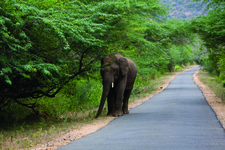 Elephant Walking By The Road In Chinnar 49