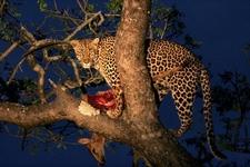 Female Leopard 1