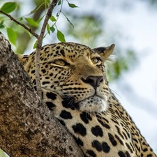 Leopard Kenya Trip