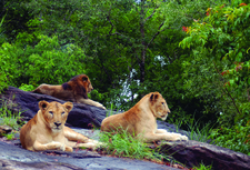 Lions At Neyyar Safari Park 44