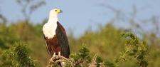 African Fish Eagle And Weaver Nest