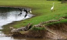 Aves Y Cocodrilos Cano Negro
