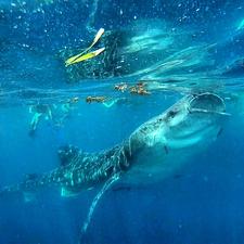 Big Whaleshark