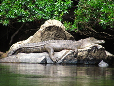 Crocodile Daintree Rainforest