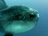 Dive Sites Bali Crystal Bay Mola Mola