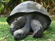 Large Land Tortoise