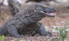 Komodo Dragon Komodo Adventure Toursjpg