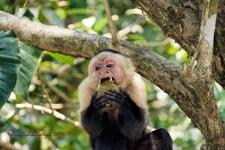 Mono Cara Blanca Comiendo