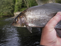 River Tees Grayling
