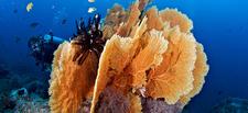 Similan Diving Safaris Fancoral Diver