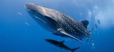 Similan Diving Safaris Whaleshark Divers