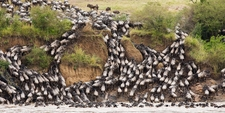 Wildbeest Migration Crossing 2