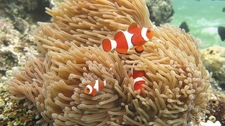 Falseclownfish