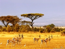 Savanna Antelopes Africa