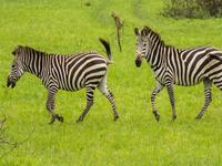 Zebras In Mburo