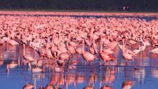 Flamingos At Lak Nakuru