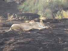 Sleepin Lion