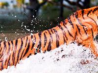 Sundarban Tiger