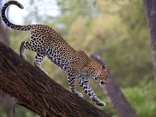 African Leopard Samburu National Reserve Kenya