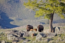 Bison Calves 46640