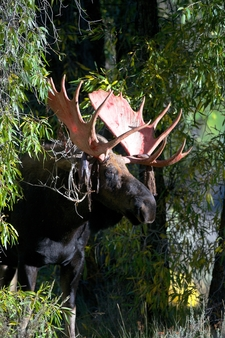 Cottonwood Bull Moose 2014 09 10