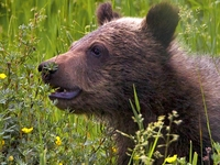 Cub Grizzly 32605
