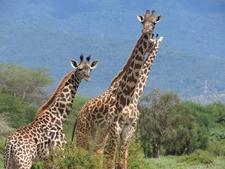 Giraffe Tours
