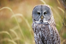 Grass Great Grey Owl 2135