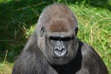 Silverback Gorilla 271002 960 720