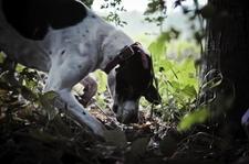 Truffels Hunting Dog