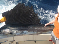 4 A Huge Sailfish Caught While Sport Fishing Off Miami Beach