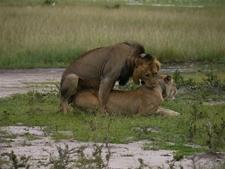 Lion Akagera Np Rwanda