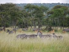 Zebra Impala In Akagera Np Rwanda
