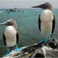Isabela Island, Blue Footed Boobies
