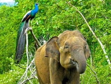 06 Elephant And Peacock1