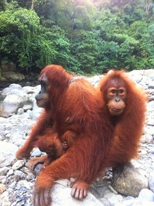 Orangutans At The River