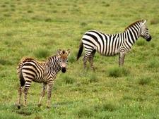 85 Zebra Foal Serengeti Reg